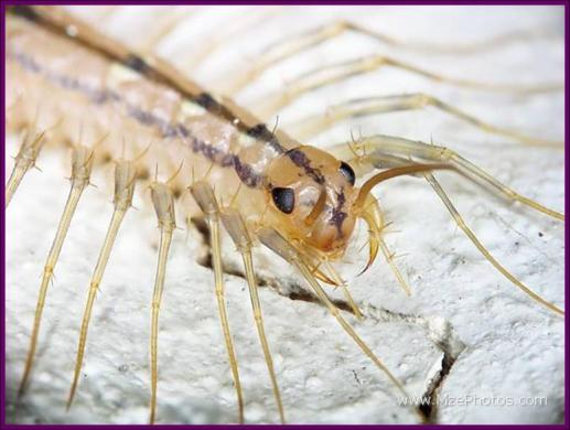 HouseCentipedeHeadFangs